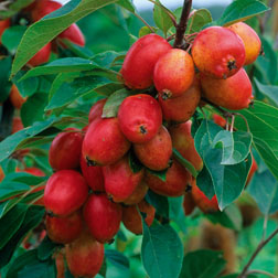 Crab Apple John Downie  1 root wrap crab apple tree