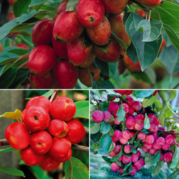 Crab Apple Collection - 3 trees - 1 of each variety