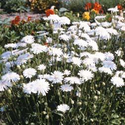 Crepis rubra Snow White - 1 packet (500 seeds)