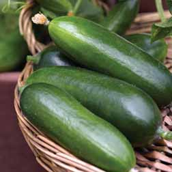 Cucumber 'Cucino' F1 Hybrid - 1 packet (4 seeds)