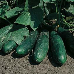 Cucumber 'Masterpiece' - 1 packet (25 seeds)
