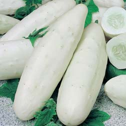 Cucumber 'Long White' - 1 packet (25 seeds)