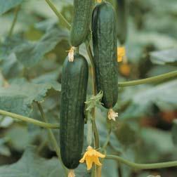 Cucumber 'Picolino' F1 Hybrid (Organic) - 1 packet (4 seeds)
