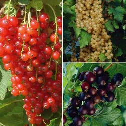 Currant Collection - 3 plants - 1 of each variety