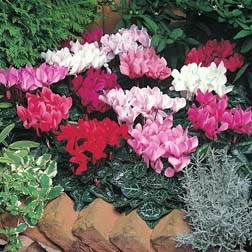 Cyclamen persicum grandiflorum 'Lazer Mixed' F1 Hybrid - 1 packet (8 seeds)
