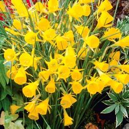 Narcissus bulbocodium 'Golden Bells' - 24 bulbs