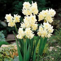 Narcissus 'Erlicheer' - 20 bulbs