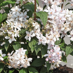 Deutzia x hybrida `Mont Rose` (Large Plant) 2 x 3.5 litre potted deutzia plants