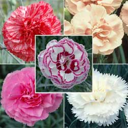 Dianthus Collection - 10 jumbo plugs