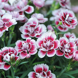 Dianthus `Odessa Amy` 5 dianthus pencil plug plants