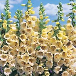 Foxglove 'Primrose Carousel' - 1 packet (50 seeds)