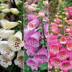 Foxglove 'Camelot Trio' F1 Hybrid - 3 packets - 1 of each variety (54 seeds in total)