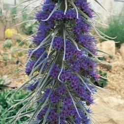 Echium pininana - 1 packet (25 seeds)