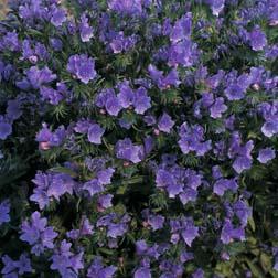 Echium vulgare 'Blue Bedder' - 1 packet (200 seeds)