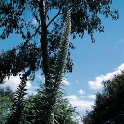 Echium pininana alba 'Snow Tower' - 1 packet (15 seeds)