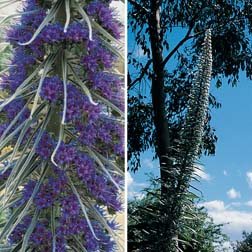 Echium Collection - 2 packets - 1 of each variety (40 seeds in total)