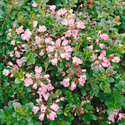 Escallonia `Apple Blossom` (Large Plant) 1 x 3.5 litre potted escallonia plant