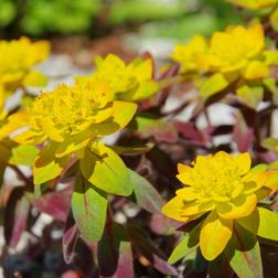 Euphorbia polychroma Bonfire (Large Plant)  1 x 2 litre potted euphorbia plant