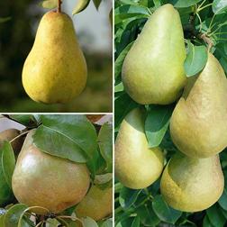 Pear 'Family Pear Tree' - 1 tree