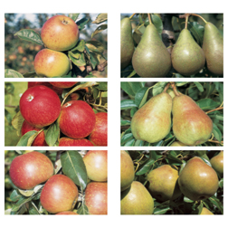 Apple and Pear Family Collection - 2 trees - 1 of each variety
