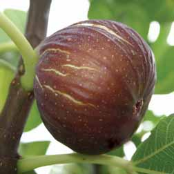 Fig `Madeleine des Deux Saisons` 1 x 3 litre potted fig plant