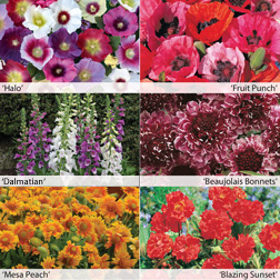 Image of 1st Year Flowering Perennial Collection - 12 Powerliner plug plants - 2 of each variety