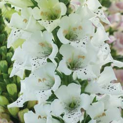 Foxglove 'Snowy Mountain' - 1 packet (40 seeds)