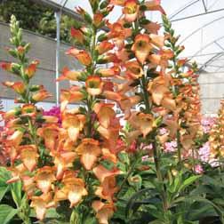 Foxglove 'Illumination Chelsea Gold' - 3 x 9cm potted plant
