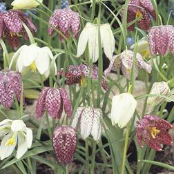 Fritillaria meleagris Mixed - 100 bulbs