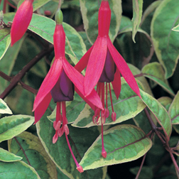 Fuchsia Tom West (Hardy) (Large Plant)  1 x 2 litre potted fuchsia plant
