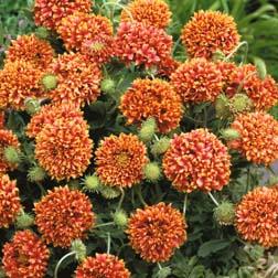 Gaillardia pulchella Sundance - 1 packet (100 seeds)