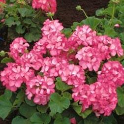 Geranium 'Horizon Pink Ice' F1 Hybrid - 1 packet (6 seeds)