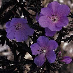 Geranium pratense 'Purple Haze' - 1 packet (5 seeds)