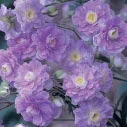Geranium pratense 'Summer Skies' - 1 bareroot plant