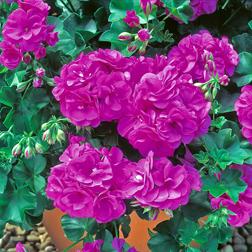 Geranium `Blue Sybil` 5 geranium jumbo plug plants
