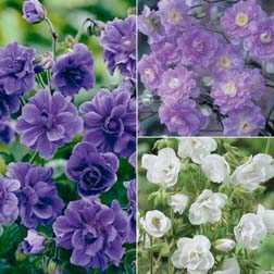 Geranium 'Double Flowered Collection' - 3 bareroot plants - 1 of each variety