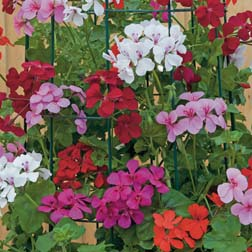 Geranium Skyrocket® Mixed - 10 jumbo plants