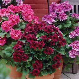 Plants & Seeds Geranium 'Regalia Mixed' - 6 jumbo plugs - 2 of each variety