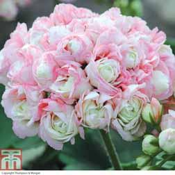 Geranium `Appleblossom Rosebud` 3 x 10.5cm potted geranium plants