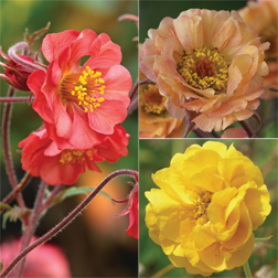 Geum 'Fruit Punch' Collection - 6 bareroot plants - 2 of each variety