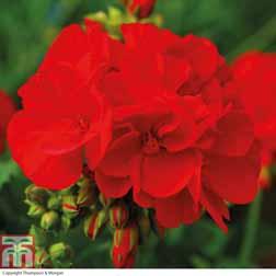 Geranium `Octavia Hill` 5 geranium jumbo plug plants