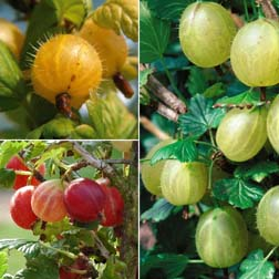 Gooseberry Collection - 3 bushes - 1 of each variety