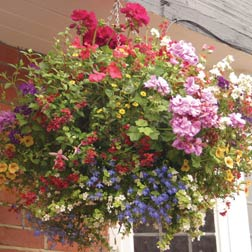 Hanging Basket Plant Collection  40 mixed hanging basket plug plants