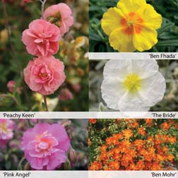 Helianthemum Collection  10 helianthemum jumbo plug plants  2 of each variety