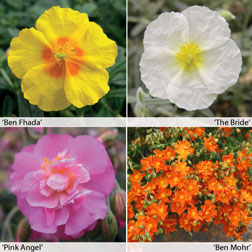 Helianthemum Collection  4 helianthemum jumbo plug plants  1 of each variety