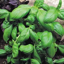 Basil 'Sweet Green' - 1 packet (400 seeds)