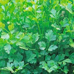 Parsley Plain-Leaved - 1 packet (1000 seeds)