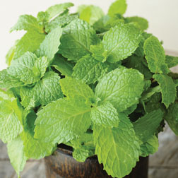 Mint - 1 packet (1250 seeds)