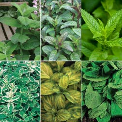 Mint Plant Collection - 5 jumbo plugs - 1 of each variety