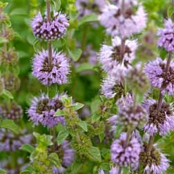 Mint (Pennyroyal) - 1 packet (250 seeds)
